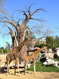 marzo-2019-dos-jirafas-en-la-sabana-africana-de-bioparc-valencia